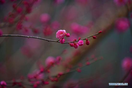 Plum blossoms in Xuan'en County, Hubei