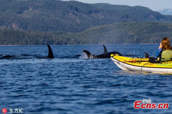 Kayakers' close encounter with killer whales