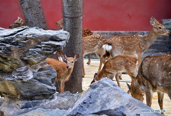 Sika deer in Palace Museum in Beijing