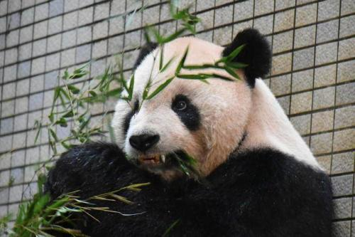 Bamboo-biting giant pandas have special teeth recovery function: study