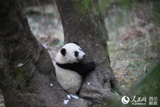 Two human-raised pandas to be naturalized