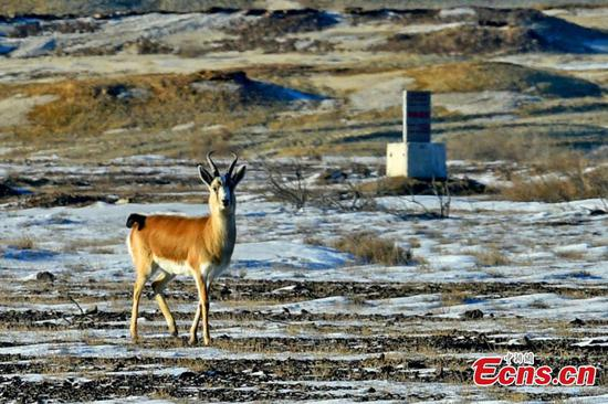 Oil company protects wild animals in Xinjiang nature reserve
