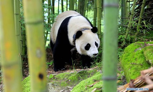 Two captive-bred pandas to be released into wild