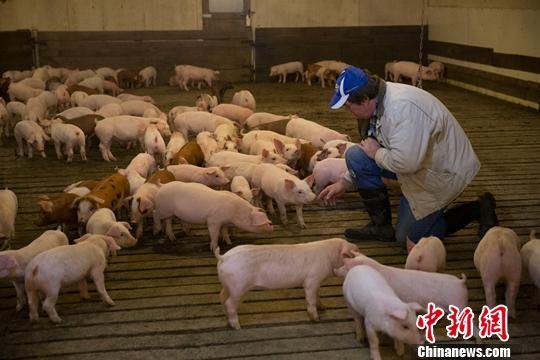 Pigs genetically modified to resist swine fever virus