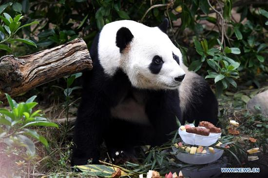 Panda 'Ming Bang' celebrates birthday at Liuzhou Zoo