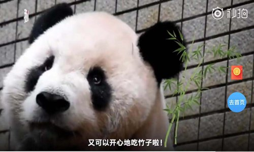 Giant panda munches bamboo after dental surgery