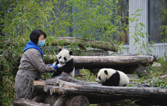 World-first captive twin pandas with wild father named Hehe and Meimei