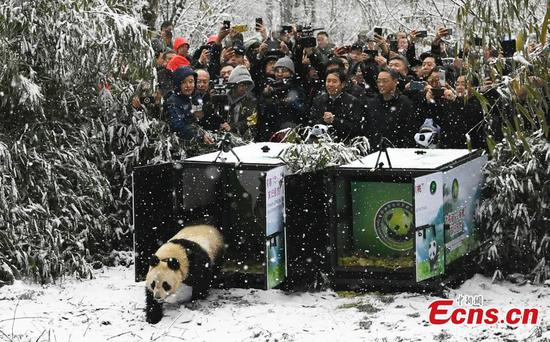 Two captive-born pandas released into wild