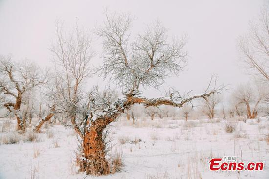 Snow adds charm to Xinjiang's desert poplar forest