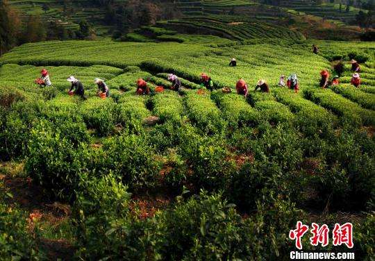 Chinese tea gains popularity in B&R countries