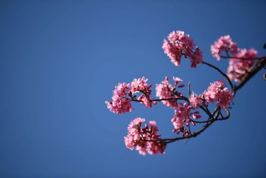 Cherry blossoms attract tourists in Kunming