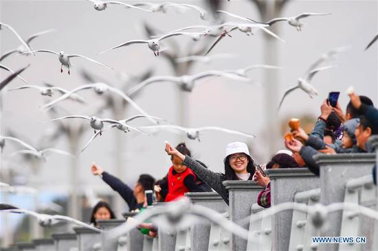 Migratory black-headed gulls attract tourists to Kunming