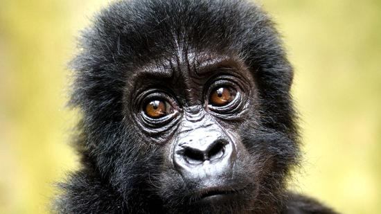 Shrinking gorilla population leads to harmful mutations