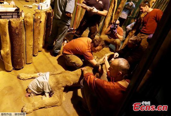 布拉格动物园的稀有亚洲母狮Ginni被人工授精