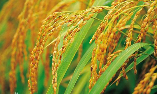 Chinese scientists succeed in developing clonal seeds from hybrid rice