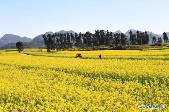 Scenery of cole flowers in SW China's Yunnan