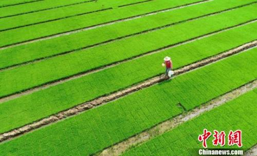Huawei to cooperate with 'father of hybrid rice' to develop 'sea rice'