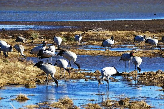 Rare black-necked cranes wintering in Yunnan