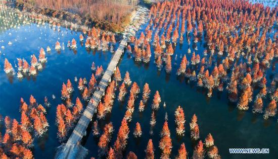Wetland of dawn redwood in Dianwei Village, Yunnan