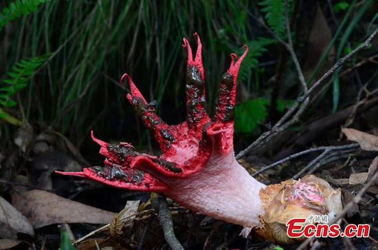 'Devil's fingers' fungus found in Guizhou nature reserve