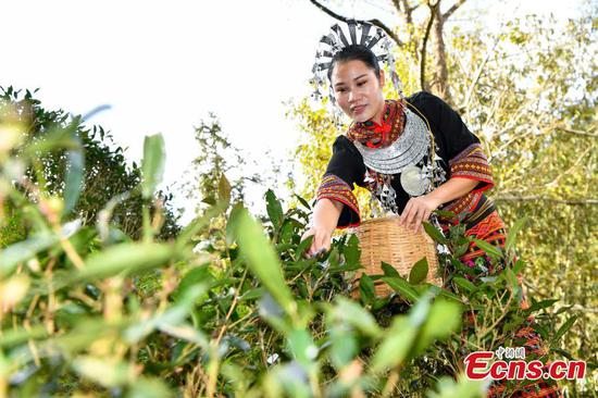 Li people pick new season tea leaves