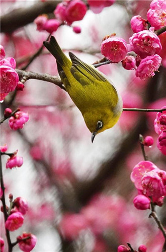 Wild bird rests on blossoming plum tree in Guiyang