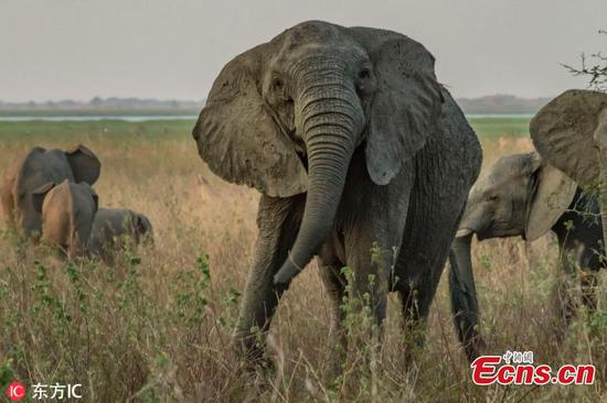Elephants are evolving to lose their tusks in Mozambique