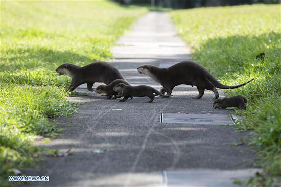 Family of smooth-coated otters make home in urban city centre of Singapore