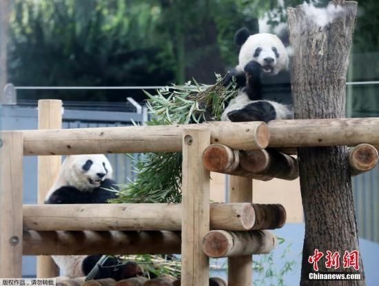 Japan hopes to extend the stay of Xiang Xiang the panda