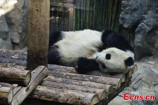 Giant panda naps at Beijing Zoo