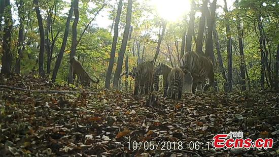 Siberian tiger family caught on camera