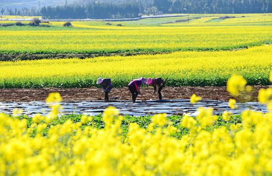 Rapeseed flowers blossom in Yunnan