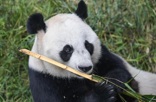 A giant panda eats bamboo at the China Conservation and Research Center for the Giant Panda in Wolong, Southwest China's Sichuan province, Sept 26, 2017. (Photo/Xinhua)