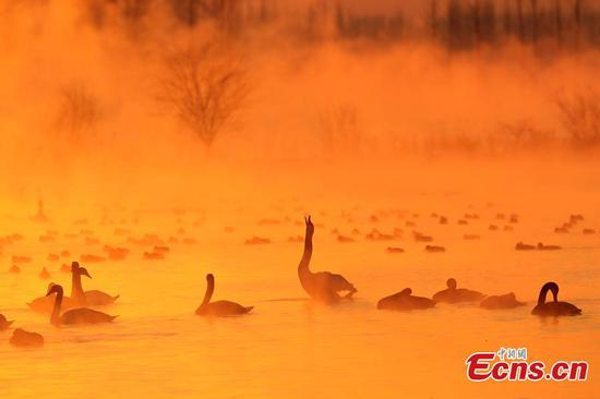 Xinjiang wetland draws swans