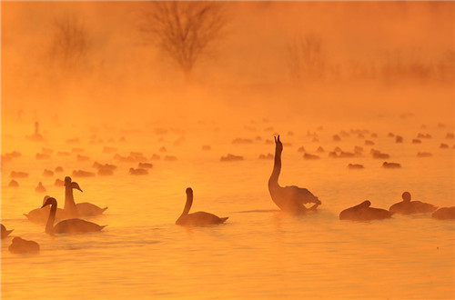 Xinjiang wetland draws swans