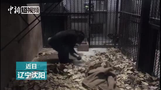 'Diligent' chimpanzee cleans floor for food