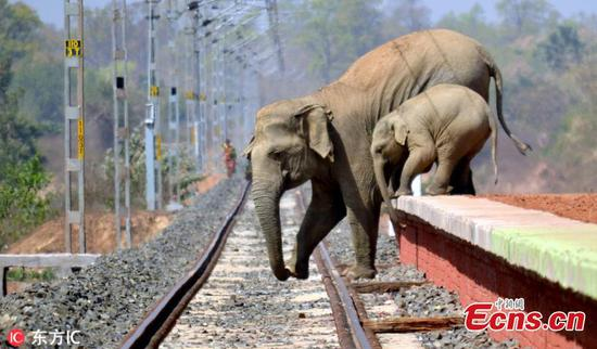 Indian elephants struggle to cross railway track