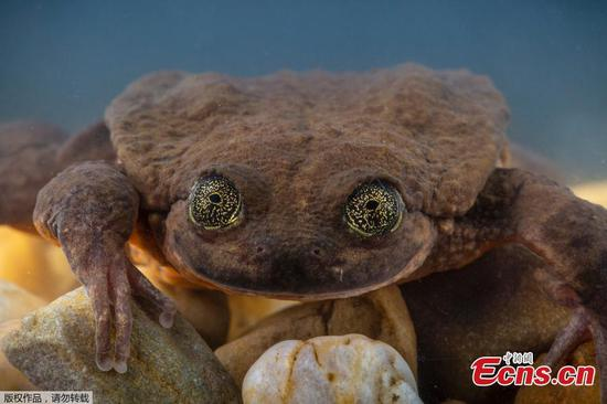 World's 'loneliest' frog gets a date