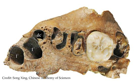 Human's ancient relative found in China has modern dental growth