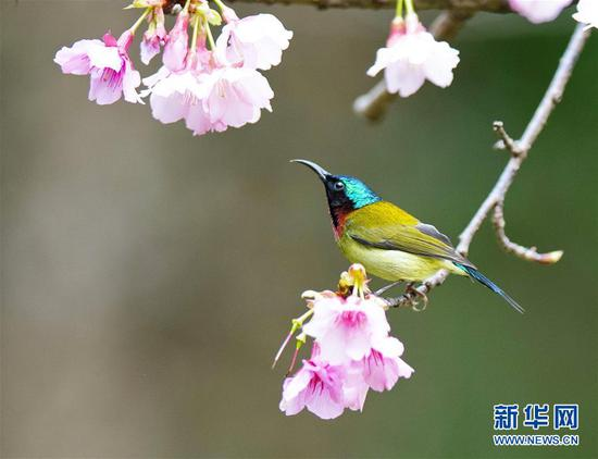 Sunbird gathers honey at Fuzhou National Forest Park in Fujian