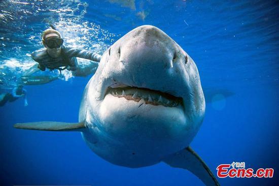"""在夏威夷发现有史以来最大的大白鲨""""深蓝"""""""