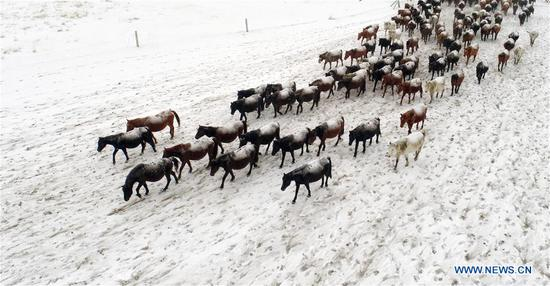 Herd of horses running on snow-covered grassland in Gansu