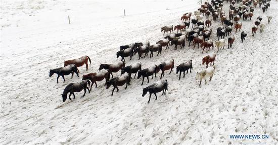 Herd of horses running on snow-covered grassland in Gansu