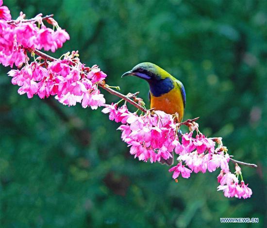 叶鸟从福州的樱花中收集蜂蜜