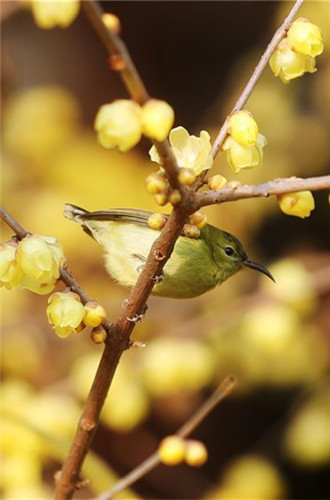 In pics: wintersweet flowers in east, southwest China