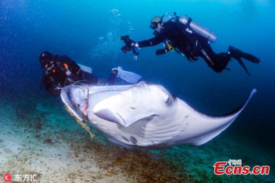 Divers rescue manta ray entangled in fishing line