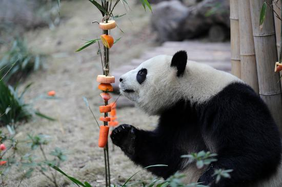 Giant panda enjoys fruit feast as Lunar New Year draws near