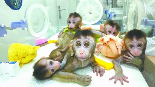 China clones gene-edited monkeys