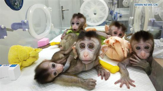 Cloned monkeys shed light on circadian disorders