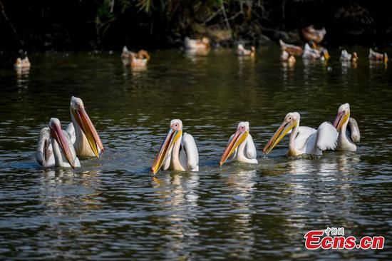 Protected birds spotted in village pond